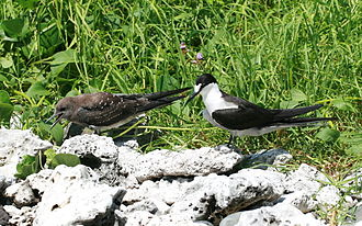 Lord Howe Island - Sooty Tern juvenile and parent.JPG