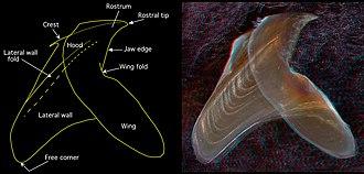 Cephalopod beak - Image: Lower beak Chiroteuthis picteti side view