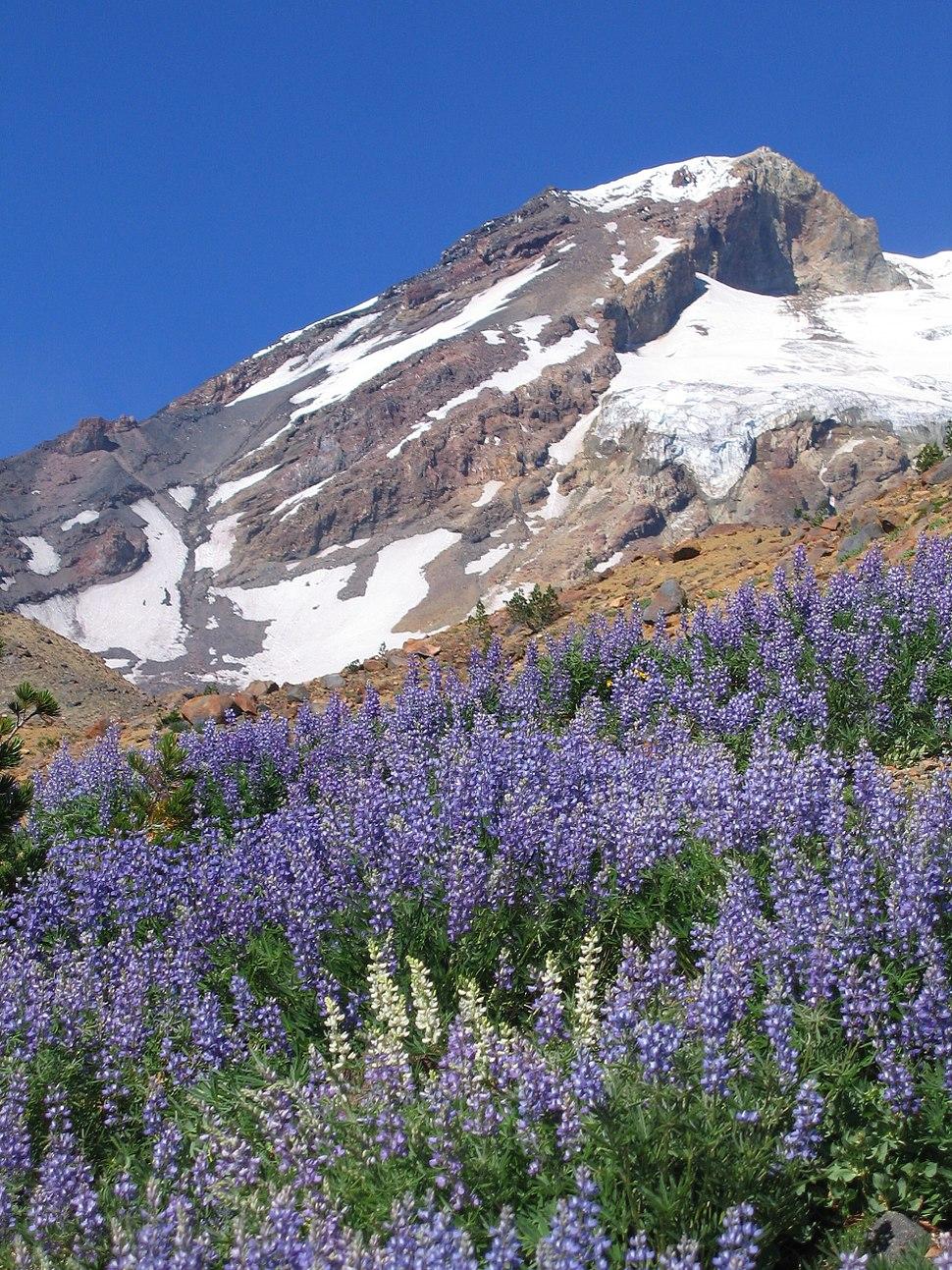 Lupine on Mount Adams (Washington)
