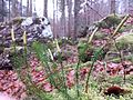 Lycopodium annotinum sl1.jpg