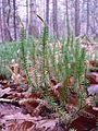 Lycopodium annotinum sl4.jpg