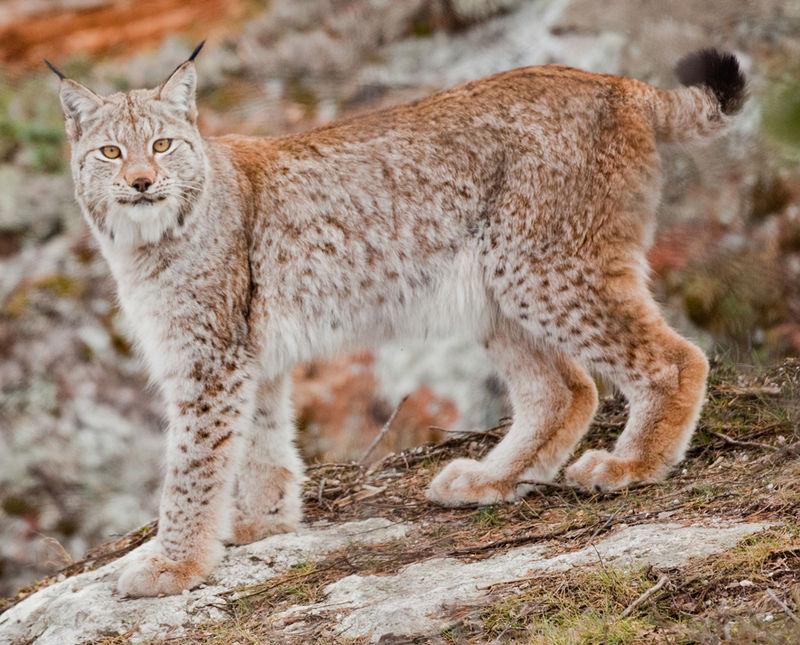 https://upload.wikimedia.org/wikipedia/commons/thumb/1/1a/Lynx_lynx_%28geypa%29-cropped.jpg/800px-Lynx_lynx_%28geypa%29-cropped.jpg