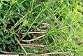 Lysionotus pauciflorum 1zz.jpg