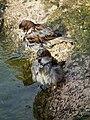 Männliche Spatzen beim Bad.JPG