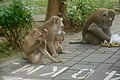 Macaque Monkeys from Monkey Hill, Phuket, Thailand (45919493451).jpg
