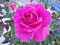 Magenta Rose PIC00012.JPG