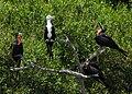 Magnificent Frigate Bird ( Juvenile ) - Flickr - Andrea Westmoreland.jpg