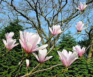 Magnificent Magnolia at Pine Lodge, near to Ch...