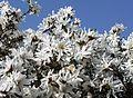 Magnolia (8807945316).jpg