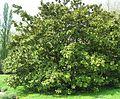 Magnolia grandiflora by Line1.jpg