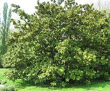 Magnolie Kleinwüchsig immergrüne magnolie