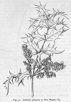 Zeichnung der Fiederblättrigen Mahonie (Mahonia pinnata)