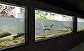 Maison de la Rivière aquariums.jpg