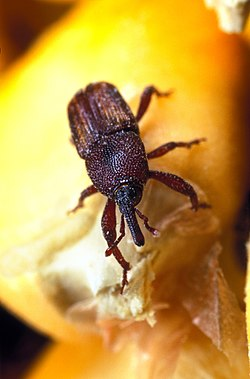 Maize weevil.jpg