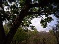 Majestuoso árbol de acacia.jpg