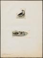 Malacorhynchus membranaceus - 1700-1880 - Print - Iconographia Zoologica - Special Collections University of Amsterdam - UBA01 IZ17600487.tif