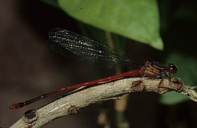 Male Oceanic Hawaiian damselfly by Dan Polhemus (7981008290).jpg