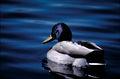 Mallard duck .jpg