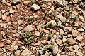Malta - Ghajnsielem - Comino - Euphorbia pinea 01 ies.jpg