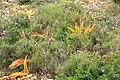 Malta - Mellieha - Triq Mellieha - Rdum mic-Cirkewwa sa Benghisa - Anacamptis pyramidalis 02 ies.jpg
