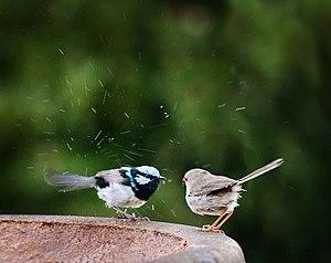 Superb fairywren - A pair on a garden birdbath in New South Wales, Australia