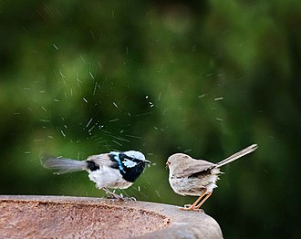 Superb fairywren - A pair on a garden birdbath in New South Wales, Australia