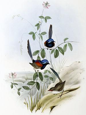 Blue-breasted fairywren - Image: Malurus pulcherrimus