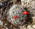 Mammillaria tetrancistra 1.jpg