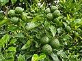 Mandarin orange 2 Bangladesh .jpg