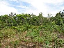 Plantation de manioc dans une clairière de la jungle