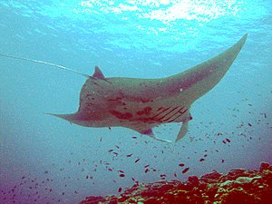 Manta Ray off Ishigaki Island in September of ...