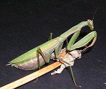 Mantis religiosa pg.jpg