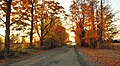 Maple trees and sunset light - panoramio.jpg