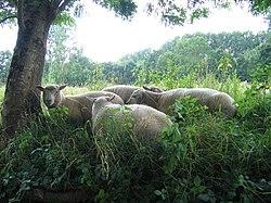 Moutons dans le marais poitevin