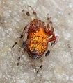Marbled Orb-weaver Spider (15055475374).jpg