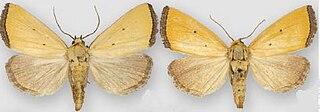 <i>Marimatha</i> Genus of moths