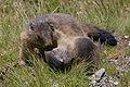Marmota marmota Glockner 2009 02.jpg