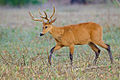 Marsh deer Pantanal Brazil 2.jpg