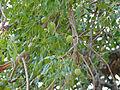Marula (Sclerocarya birrea) fruits and leaves (12907256475).jpg