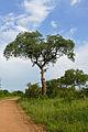 Marula Tree (Sclerocarya birrea) (16394596067).jpg