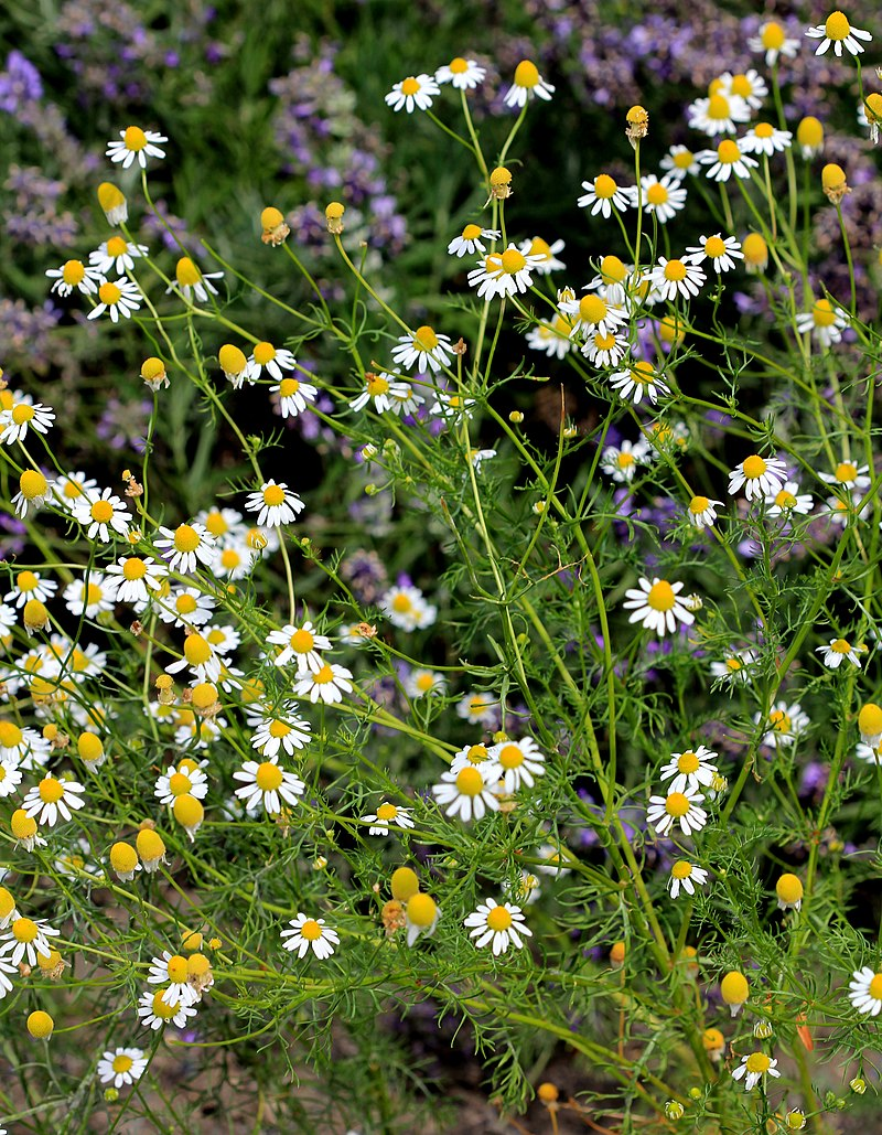 Chamomile photo By Karelj - Own work, CC BY-SA 3.0, https://commons.wikimedia.org/w/index.php?curid=20041986