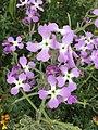 Matthiola tricuspidata fiori.jpg