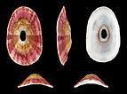 Medusafissurella dubia 01.JPG