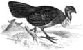 Megapodius, or mound-building bird.png