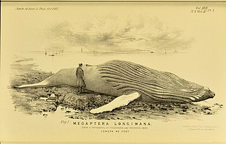 Tay Whale - A contemporary engraving of the Tay Whale on the beach at Stonehaven in 1884