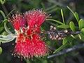 Melaleuca comboynensis - flowers.jpg