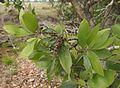Melaleuca viridiflora foliage and fruit.jpg