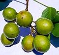 Melicoccus bijugatus, Fruits 01.jpg