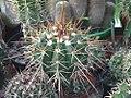 Melocactus longicarpus.jpg