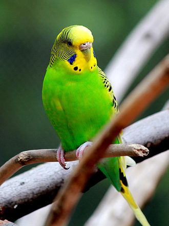 Parakeet - The Australian shell parakeet, or budgerigar, is a popular pet and the most common parakeet